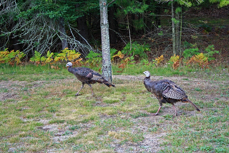 two-turkeys