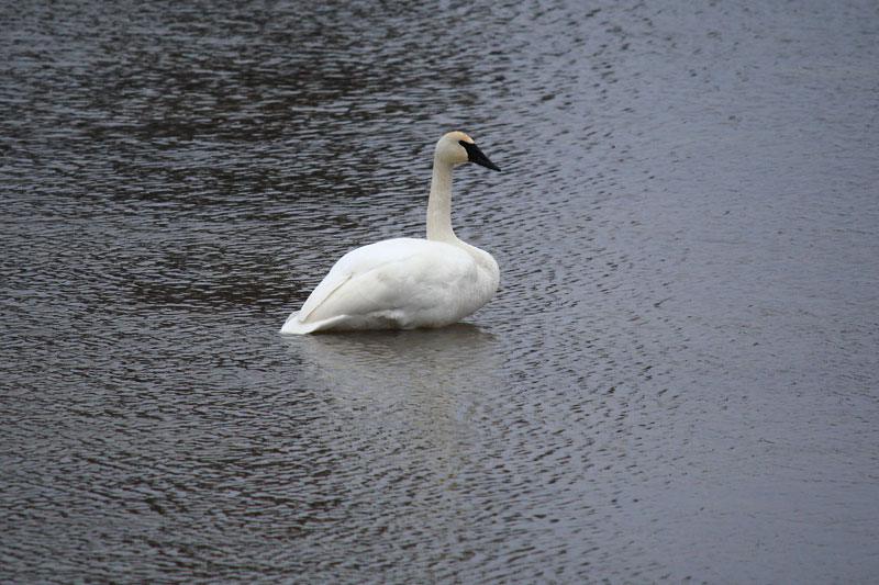big-sable-river-swan