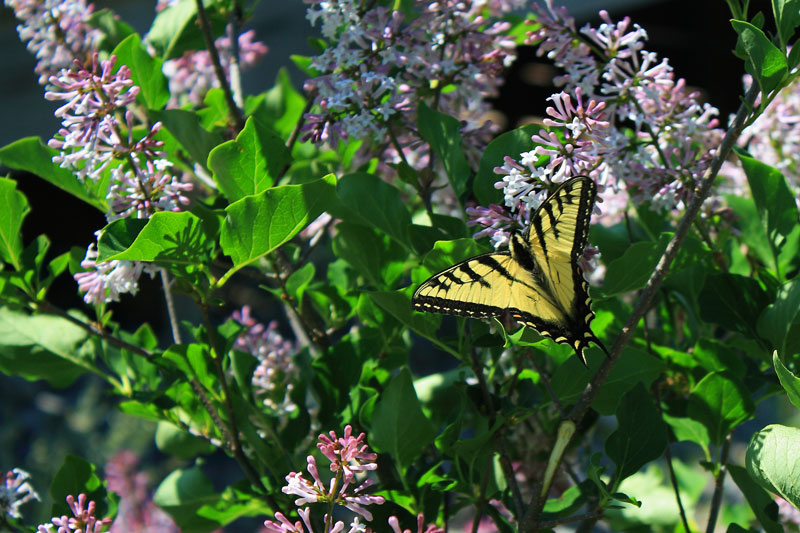 eastern-tiger-swallowtail-avalanche-preserve