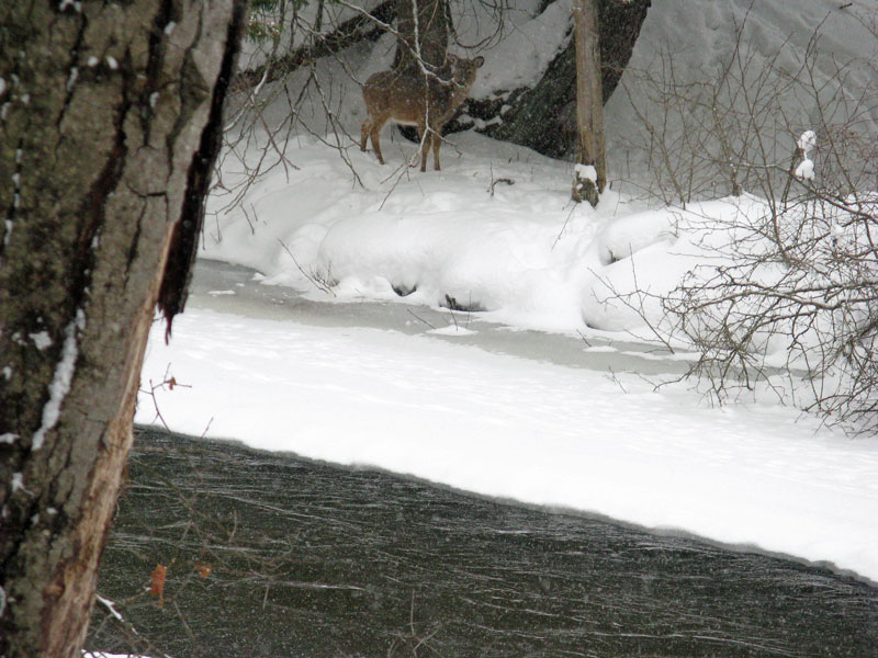 13-deer-across-pine-river